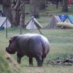 3 Naivasha hippo-003t