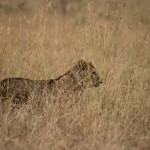 Masai Mara NP-087t