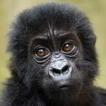 A baby Grauer's gorilla