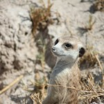 2 Gweta Meerkat-002t