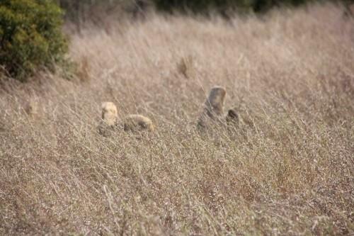 t zoek leeuw1