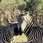 t1 Ngorongoro NP_147