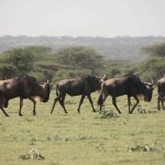 t1 Ngorongoro NP_295