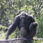t3 Chimfunshi Chimpanzee_007
