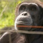 t3 Chimfunshi Chimpanzee_044