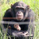 t3 Chimfunshi Chimpanzee_081