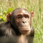 t3 Chimfunshi Chimpanzee_087