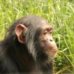 t3 Chimfunshi Chimpanzee_109