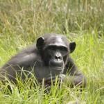 t3 Chimfunshi Chimpanzee_153