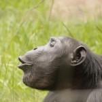 t3 Chimfunshi Chimpanzee_232