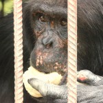 t3 Chimfunshi Chimpanzee_293