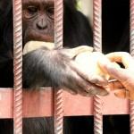 t3 Chimfunshi Chimpanzee_302
