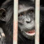 t3 Chimfunshi Chimpanzee_353