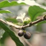 tt1 Koffie plantage-004