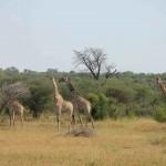 t5 Khoudom Game Reserve _100