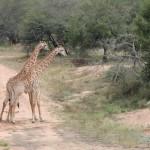 t1 Kruger Malelane_163