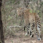 t1 Kruger Malelane_182