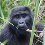 tUganda Nkuringo Gorillas-037
